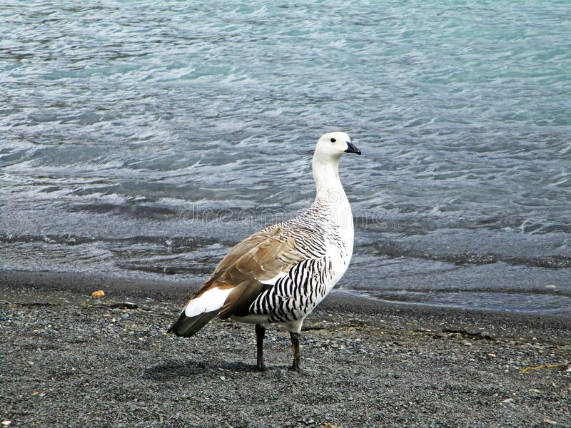 山地鹅或麦哲伦鹅或Cauquen,托里斯del潘恩智利 免版税库存照片