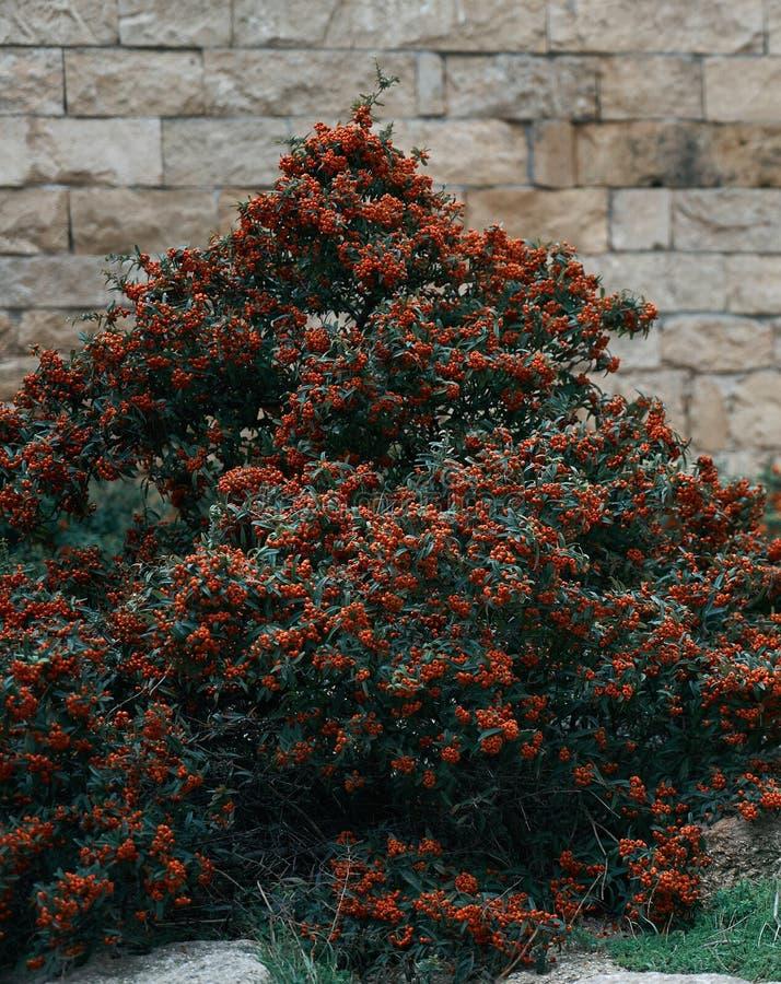 山楂属用于配药的monogyna树作为镇静剂 图库摄影