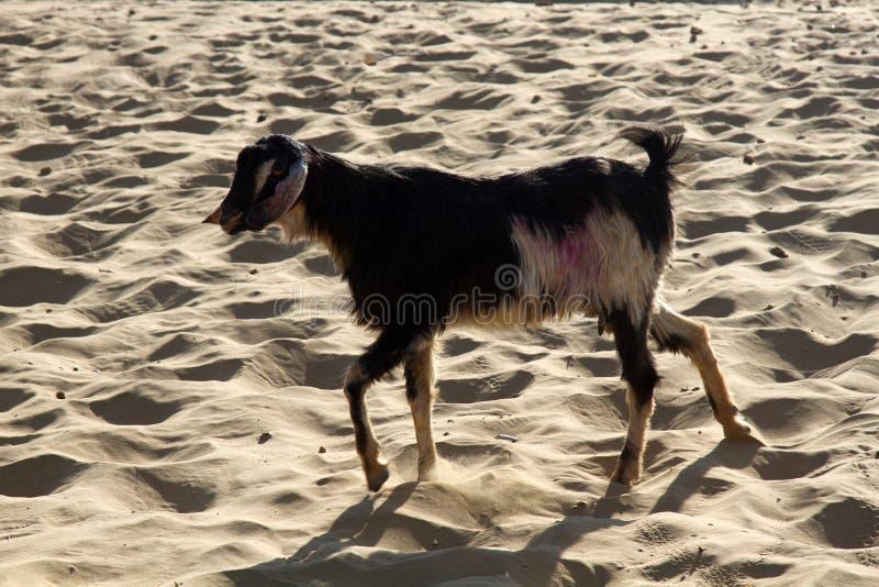 山羊在果阿 库存照片