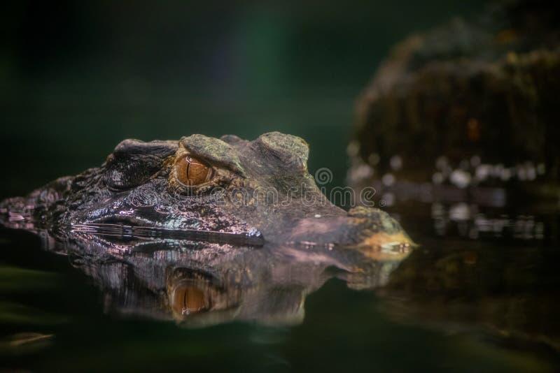 居维叶的矮小的凯门鳄 库存照片