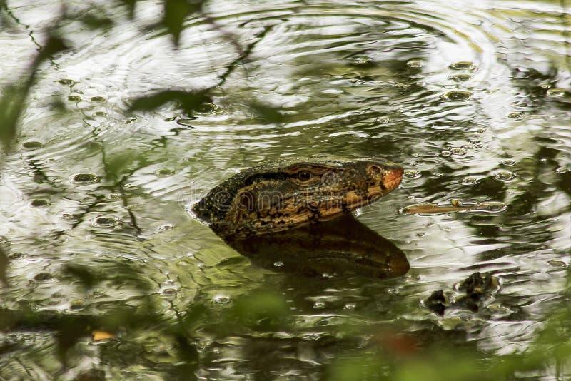 巨晰属salvator在水中作为爬行动物 库存图片