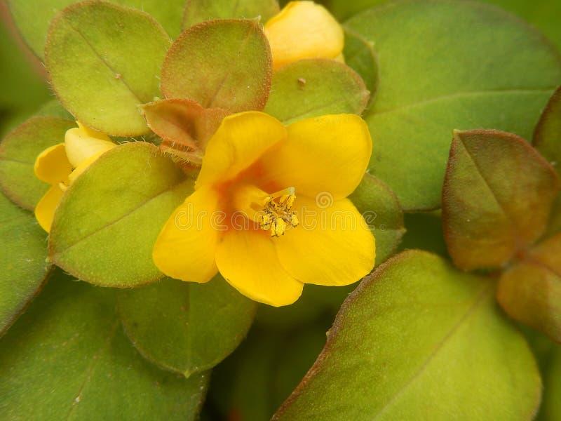 巴西秀丽自然开花-黄色热带花 免版税库存照片