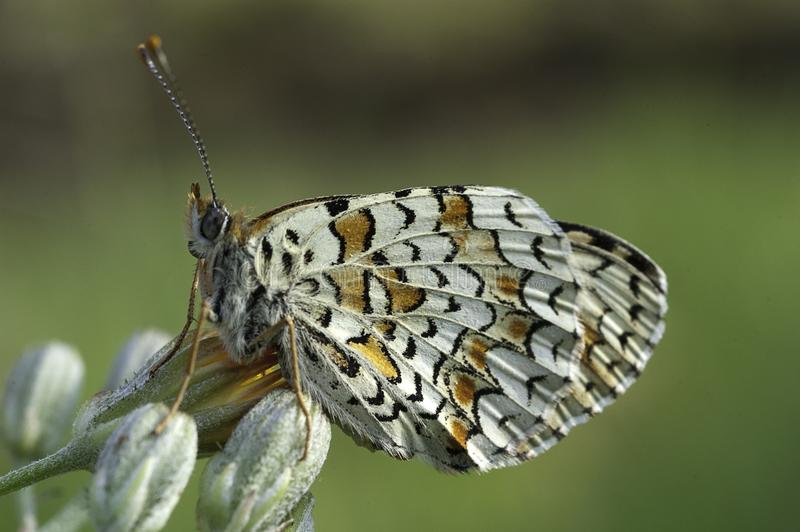 希斯贝母,Melitaea athalia蝴蝶 库存照片
