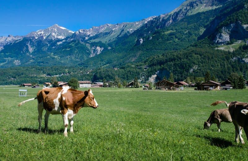 布朗在绿色草甸的瑞士母牛有高山山背景 免版税库存图片