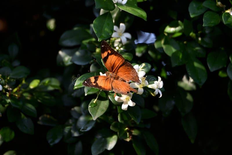 布朗蝴蝶在树栖息并且吮花精华 库存照片