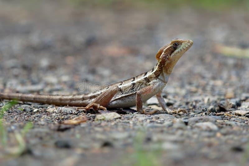 布朗蛇怪-蛇怪vittatus,指镶边蛇怪或共同的蛇怪,在家庭的蛇怪蜥蜴 图库摄影
