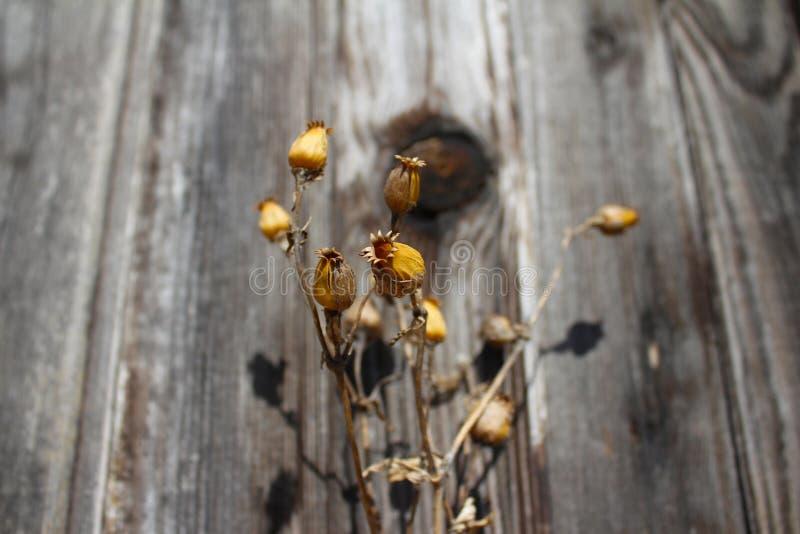 干异常的茶黄黄色草本在森林里 免版税库存照片