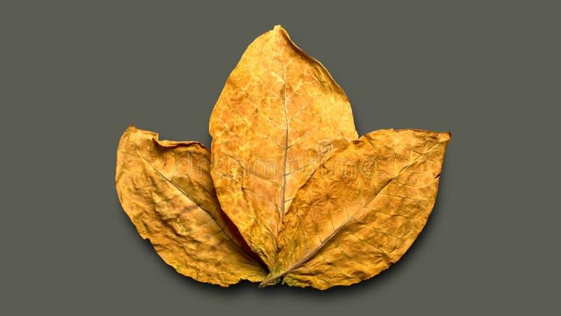 干燥烟草叶子 免版税库存图片