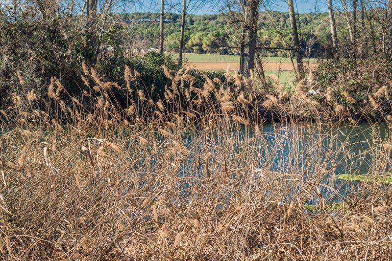 干燥芦苇在河 免版税库存图片