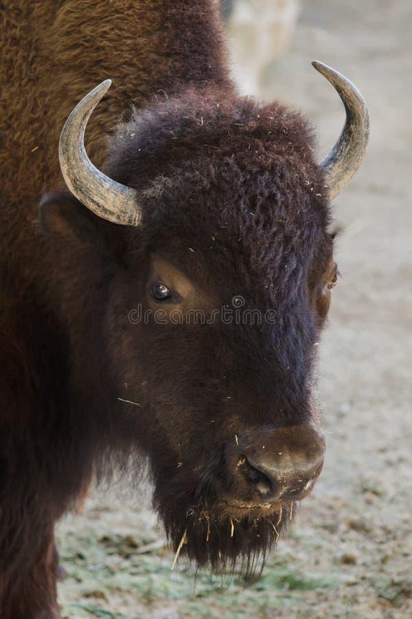 平原北美野牛,亦称prarie北美野牛 免版税库存图片