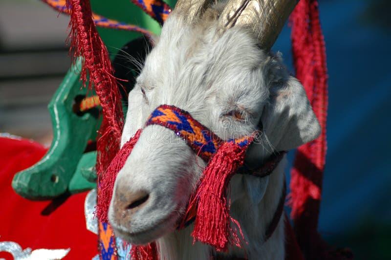 幼小山羊,在全国衣裳 免版税库存照片
