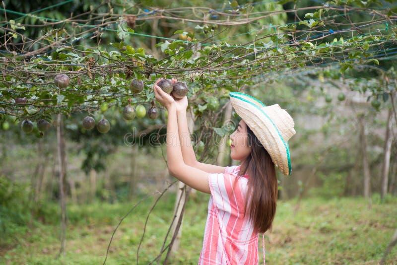 年轻亚洲妇女采摘西番莲果 库存图片