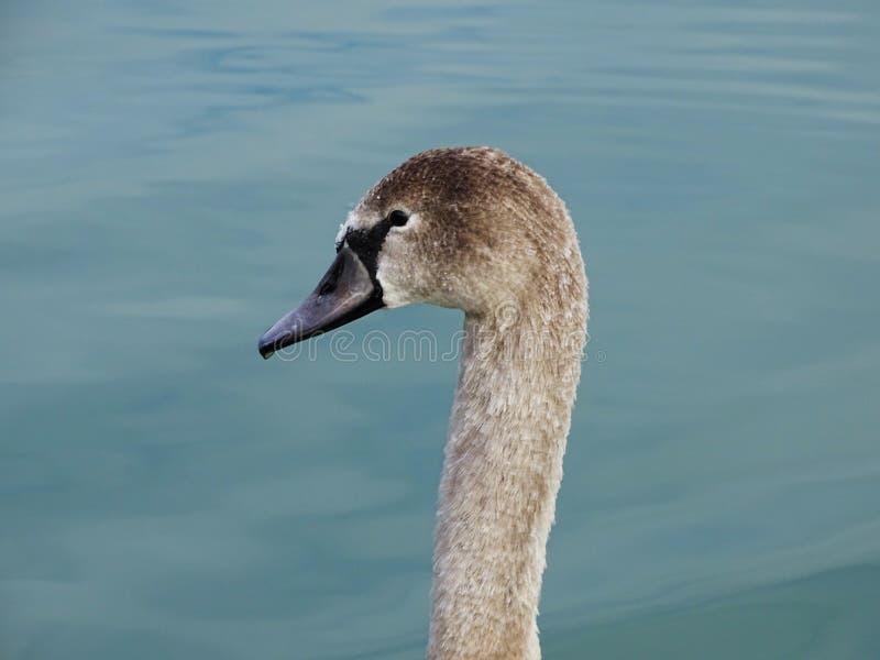 年轻天鹅游泳在平安的蓝色河 免版税库存图片