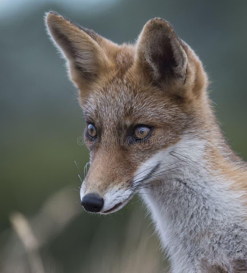 年轻女性Fox 免版税库存图片
