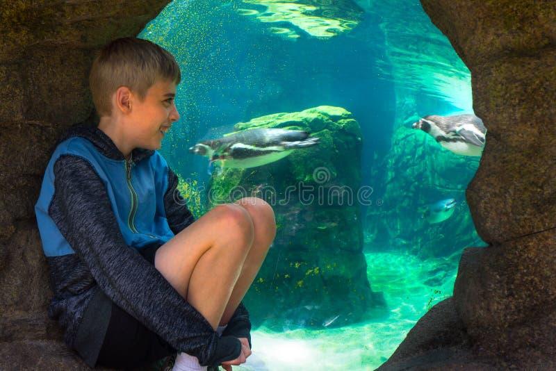 年轻男孩观看的海洋生活企鹅的关闭 库存图片