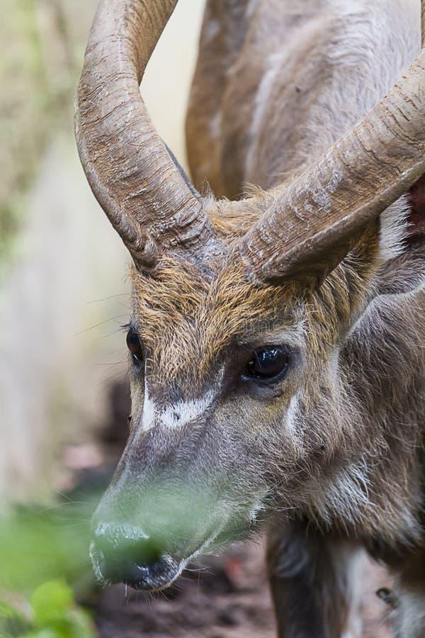 年轻Kudu男性,射击,美丽的动物的顶头关闭 库存照片