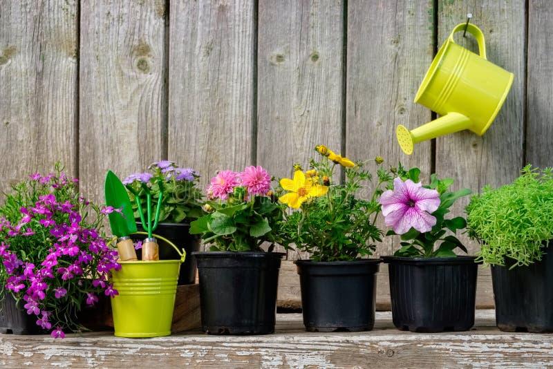 庭园花木和美丽的花幼木在花盆种植的在花床上 在木墙壁上的垂悬的喷壶 免版税库存照片