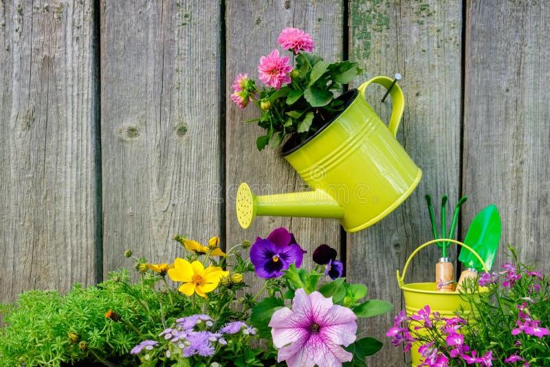 庭园花木和花幼木种植的在花圃 与桃红色大丽花花的垂悬的喷壶 免版税库存图片