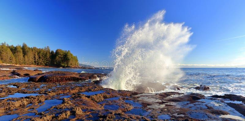 强有力的波浪崩溃到在植物的海滩省公园,温哥华岛,不列颠哥伦比亚省,全景的砂岩架子里 库存照片