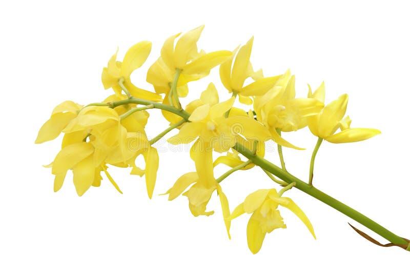 Żółci Cymbidium orchidei kwiaty Odizolowywający na Białym tle zdjęcie stock