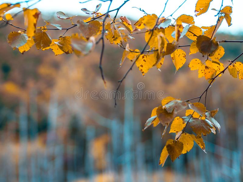Żółci jesień liście przy Błękitnym Stawowym Aoiike w Biei miasteczku obraz stock