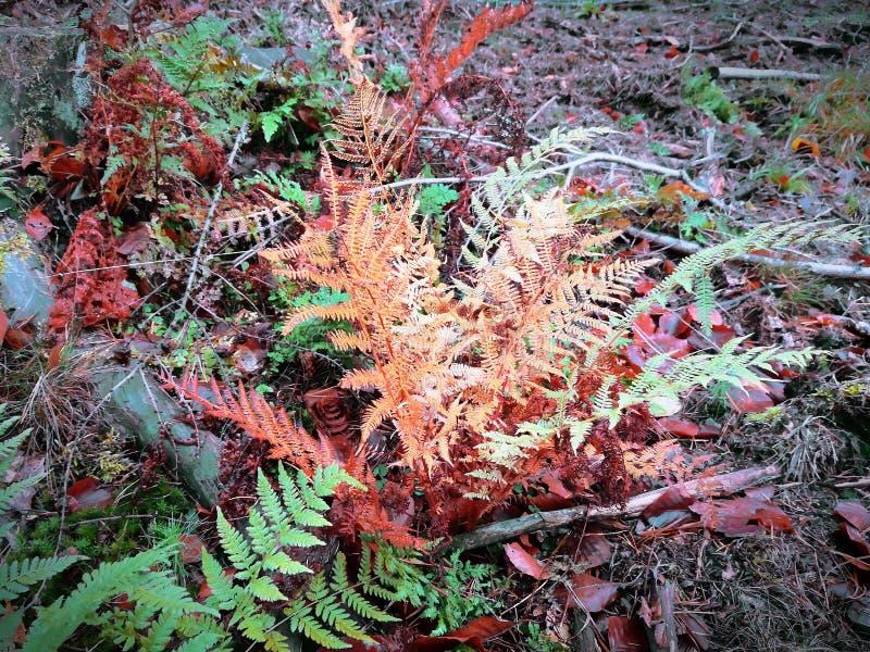 Żółci liście paproć w jesieni obrazy royalty free