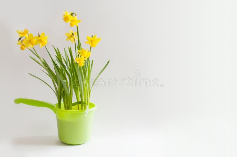 Żółci narcissuses w jaskrawym - zielony bailer zdjęcia stock