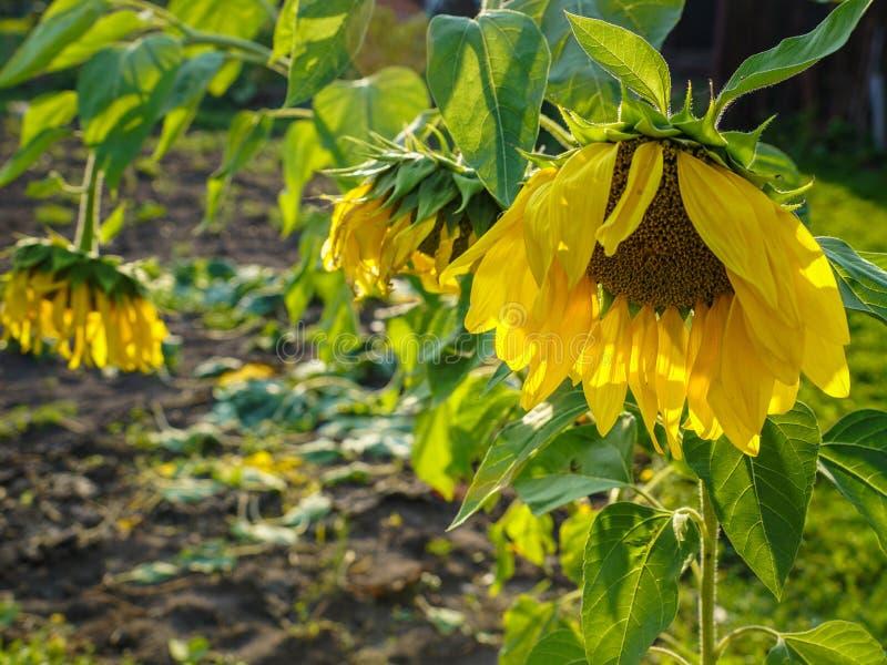 Żółci słoneczniki dojrzewają ich głowy i obniżają ziemia obrazy royalty free