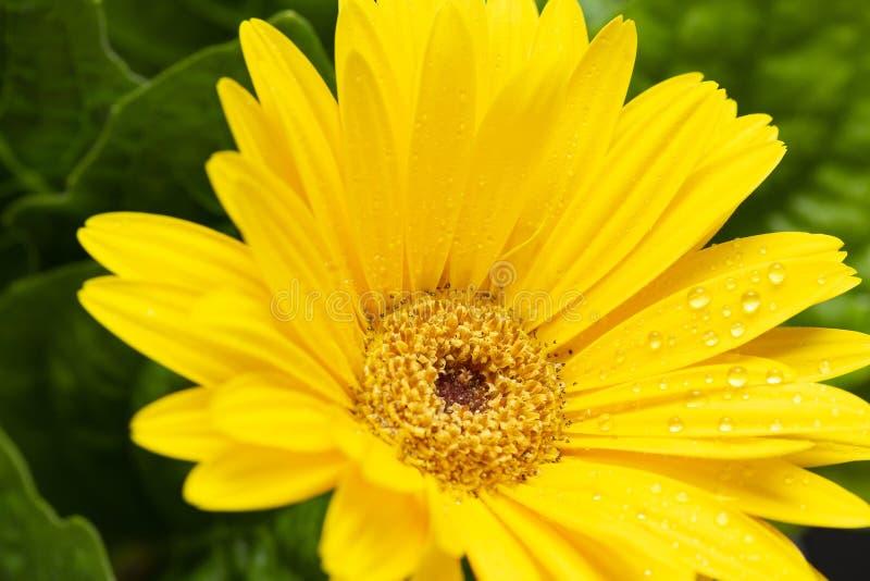 Żółta Gerber stokrotka makro- z wodnymi kropelkami na płatkach blisko gerbera kwiat światła playnig tło zdjęcia royalty free