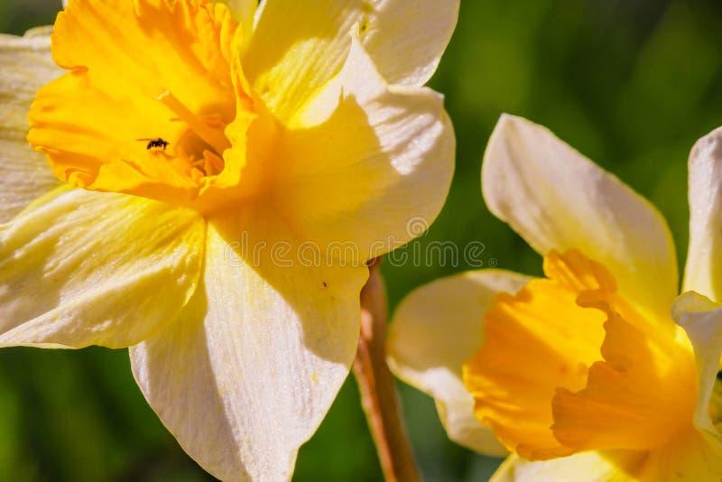 Żółty biały narcyza kwiat Narcyza daffodil kwiaty, zieleń opuszczają tło obraz royalty free