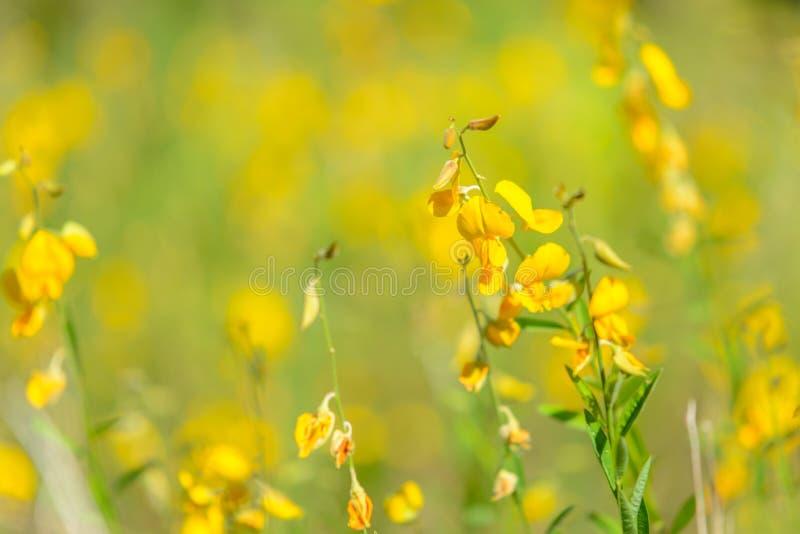 Żółty Crotalaria juncea kwiat z zamazanym Sunn konopie lub Crotalaria juncea na tle zdjęcia royalty free