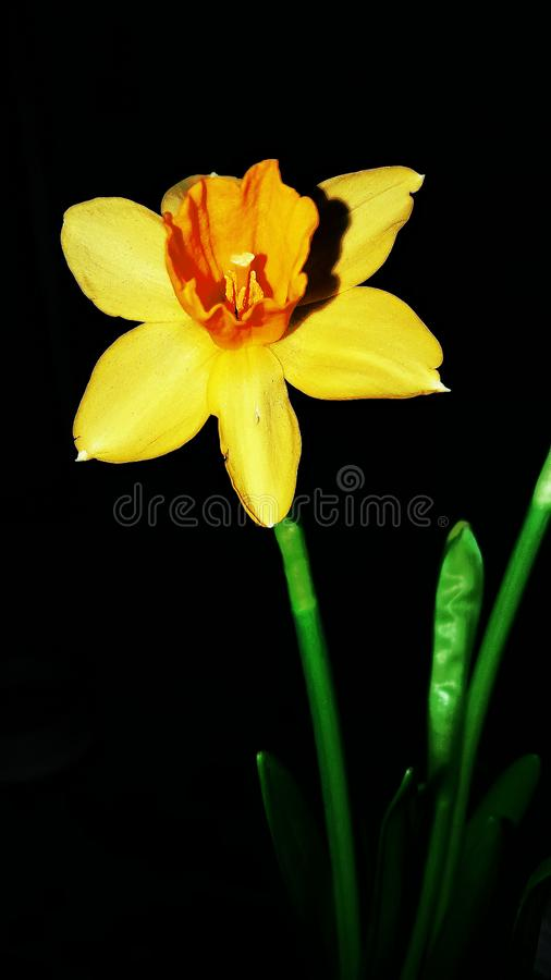 Żółty daffodil kwitnął w ostatnim miesiącu zima zdjęcia royalty free