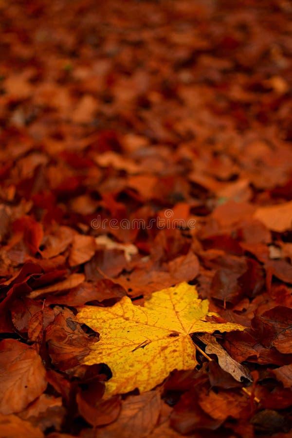 Żółty liść podczas jesieni fotografia stock
