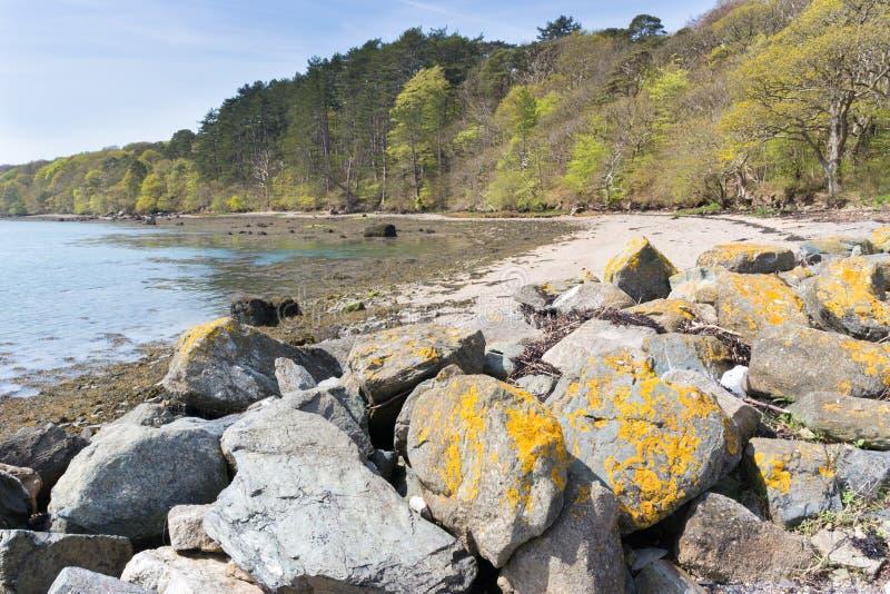 Żółty liszaj na skałach w Menai cieśninach, Anglesey, Walia obrazy royalty free