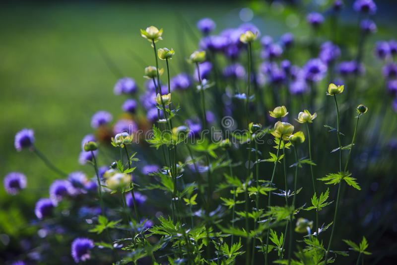 Żółty Trollius kwiat fotografia royalty free