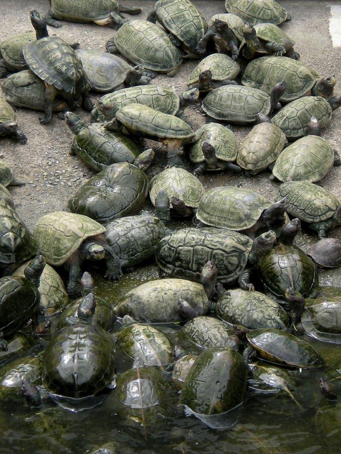 Żółwia staw zdjęcie stock