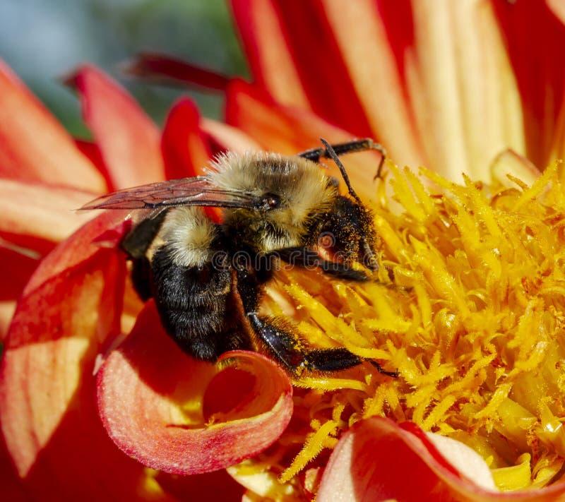 弄糟在橙色/红色大丽花的蜂 免版税库存图片