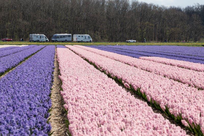 开花上升了郁金香在领域的荷兰春天 免版税库存图片