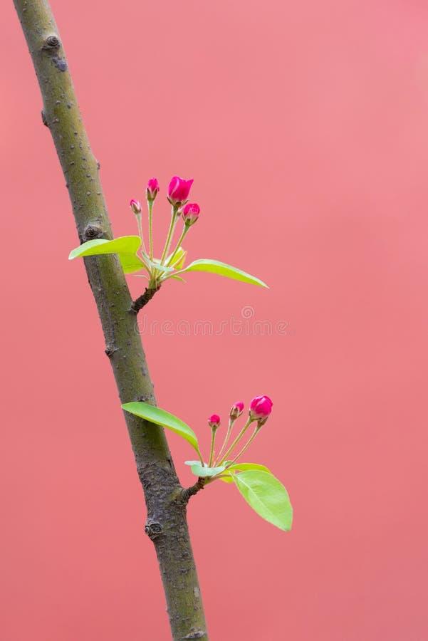 开花在一个分支的红色小的花在春天有红色背景 库存照片