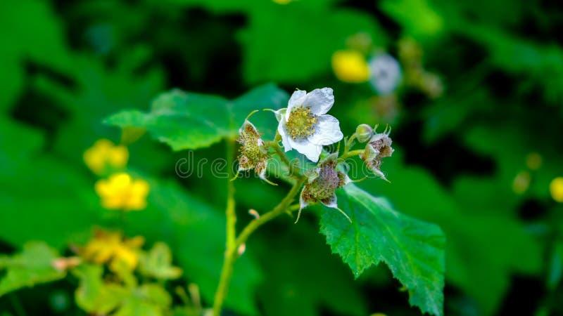 开花在春天的木材莓果在Tolmie国家公园华盛顿美国 免版税图库摄影