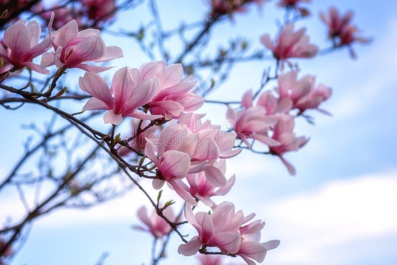 开花木兰桃红色花在春天庭院里,墙纸的自然本底 免版税库存图片