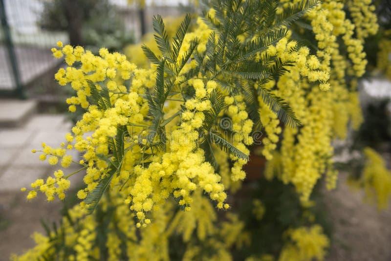 开花的含羞草在庭院里在春天 庭院,从事园艺 春天假日开花 库存图片