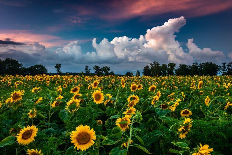 开花的向日葵的领域在背景日落的 免版税图库摄影