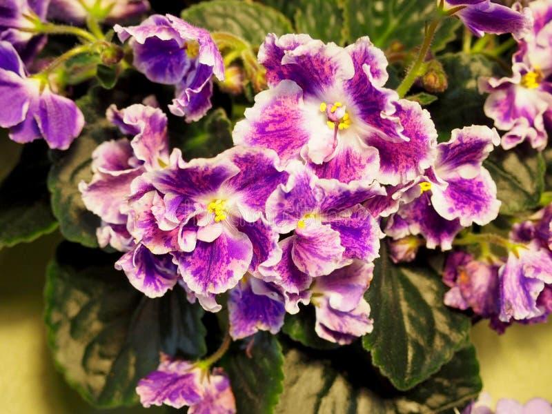开花的室内植物,花紫罗兰 免版税库存照片