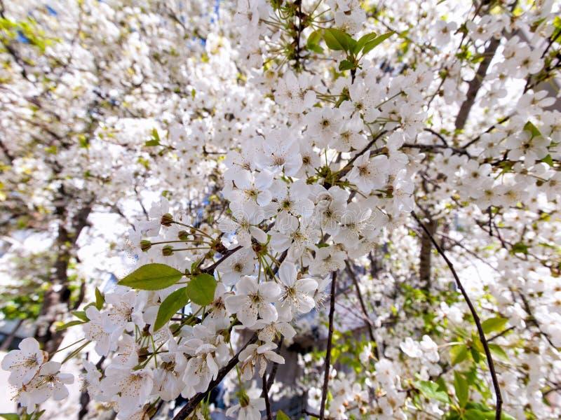开花的樱桃甜点 免版税库存照片