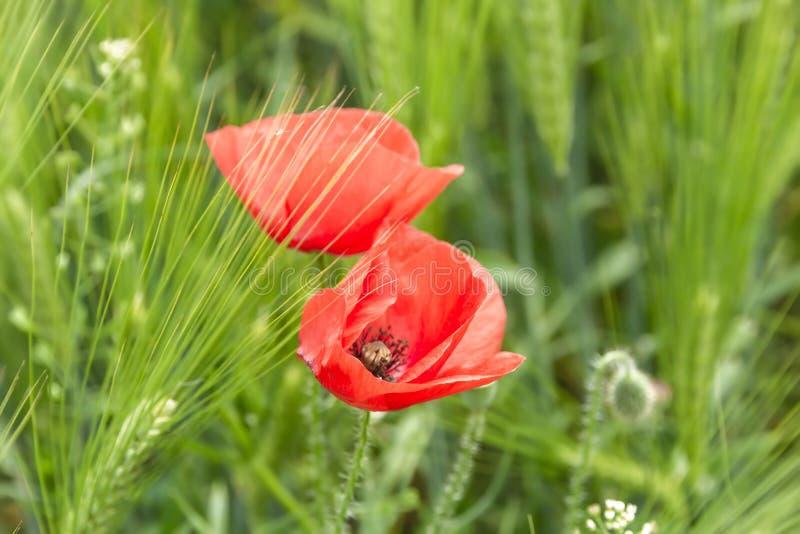 开花的草甸在波兰 绿草和红色鸦片 免版税图库摄影