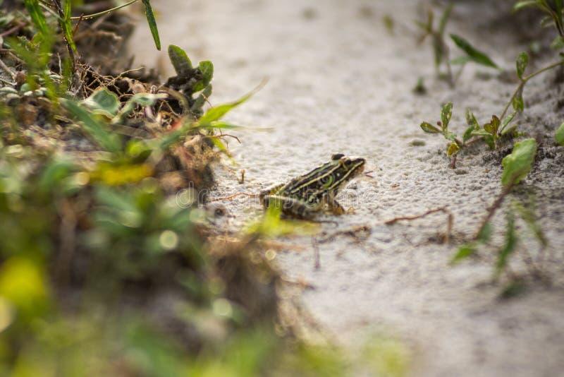 Żaba w podeszczowej ścieżce obraz stock