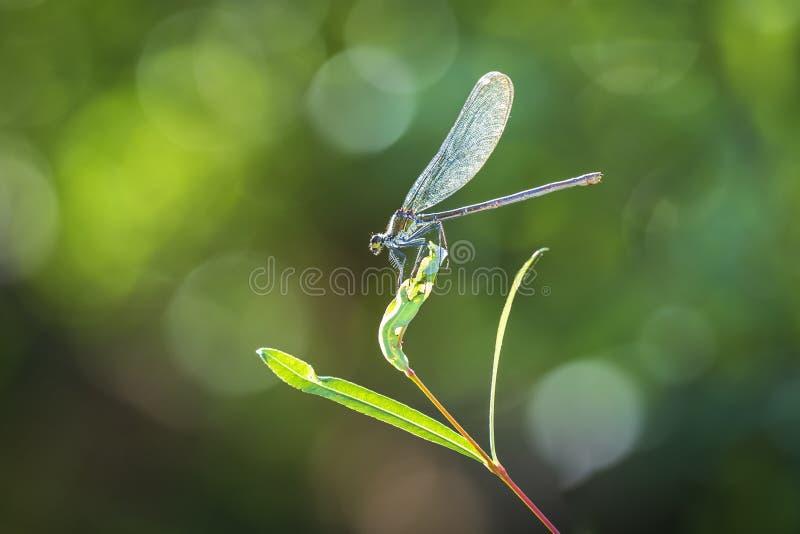 Żeński piękny demoiselle Calopteryx virgo dragonfly odpoczywać zdjęcia royalty free