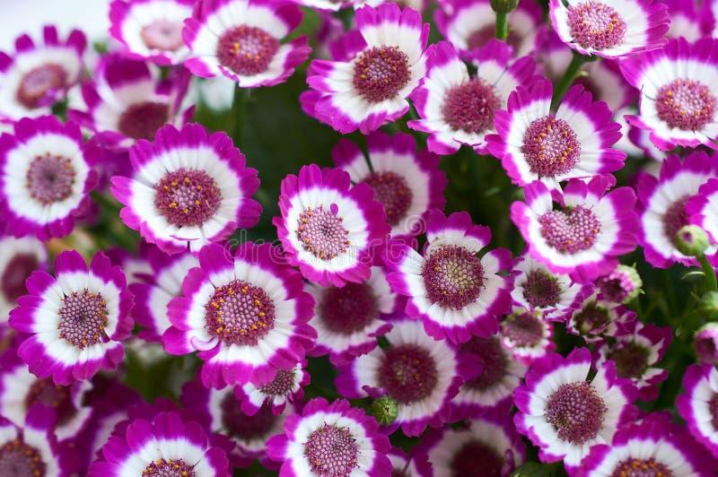 Żywe lile cynerarie, roślina z ścisłymi masami jaskrawi kwiaty wiązki kwiatów menchie obraz stock