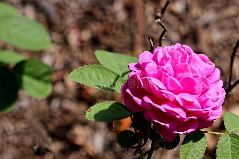 Żywo barwione menchie kwitną na zamazanym tle obraz royalty free